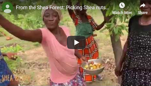 From the Shea Forest: Picking Shea nuts (seeds)