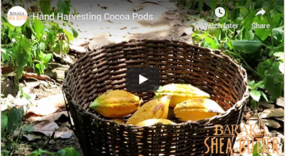 Hand-Harvesting Cocoa Pods