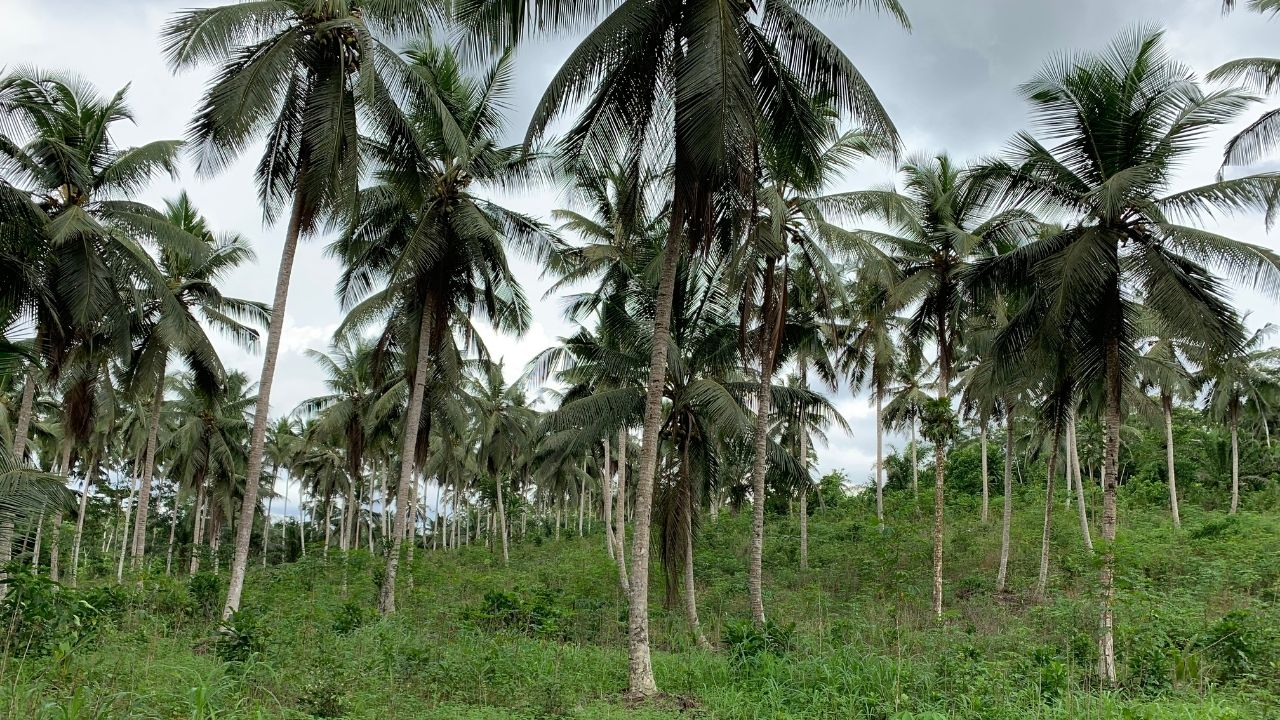 Collecting Coconuts for Baraka Coconut Oil